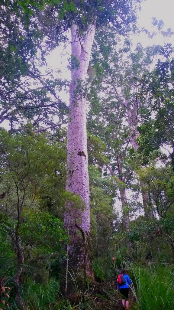 walking in the bay of islands, The waihoanga gorge kauri walk